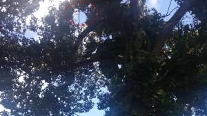 Летучие лисицы в парке СиемРеап